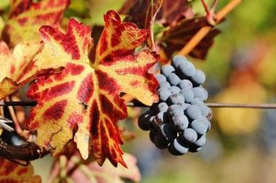 Vinuri vechi, reinventate